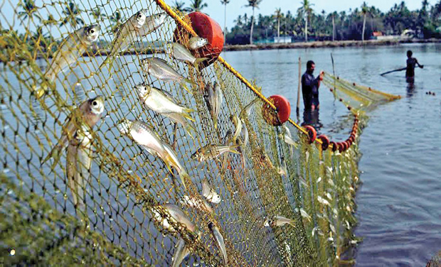 12-4-2014,Kochi -Mass harvesting of fish from farms at Kadamakkudi near Kochi on Saturday. As per practice, people of the village enter the farms and catch all the fish ahead of preparing the farms for Pokkali paddy cultivation. The event called 'Kettukalakkal'fest marks the end of fish farming and beginning of paddy cultivation and is also a tourist attraction now. Pix – ARUNCHANDRA BOSE