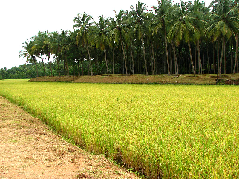 paddy_fields